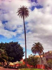 Gran Canaria Øst Ingenio høyeste palme