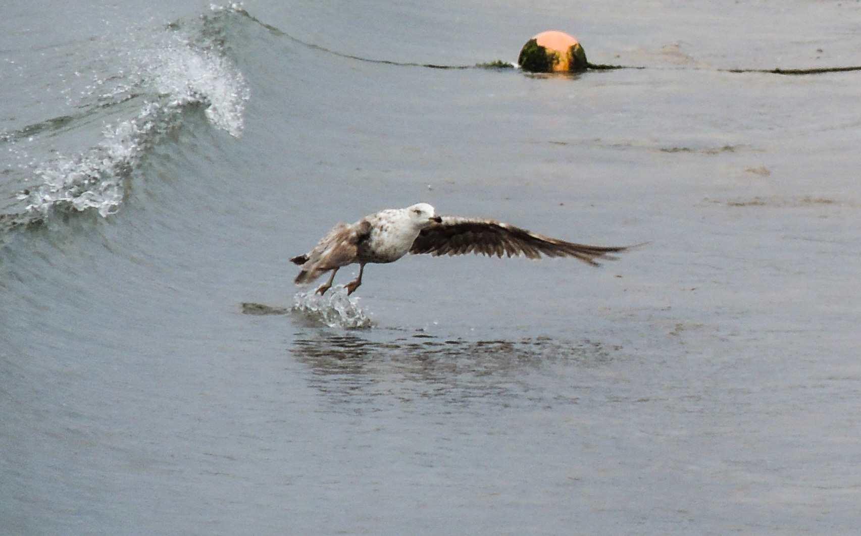 Fisketur på Gran Canaria - Måke