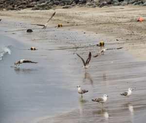 Fisketur på Gran Canaria - Stille måker