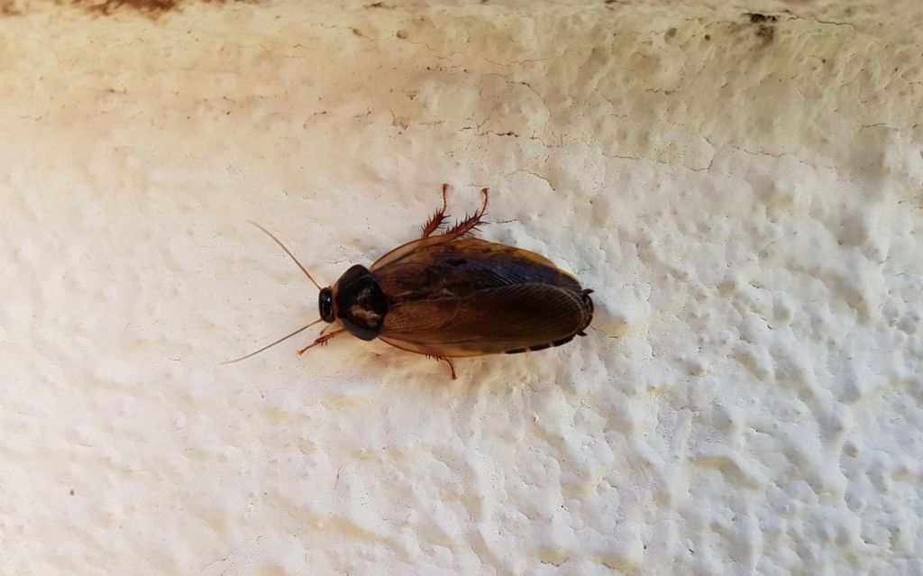 Den standhaftige kakerlakk