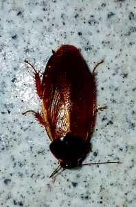 Kakerlakken Petter