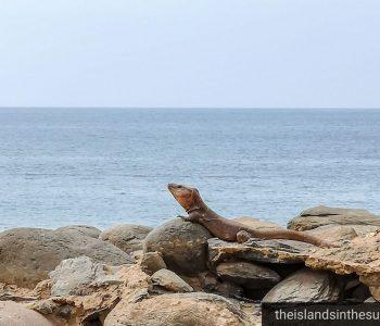 Øgle i skapet - firfisler Gran Canaria