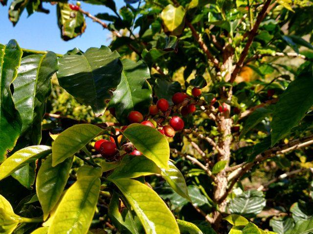 Kaffe - Valle de Agaete