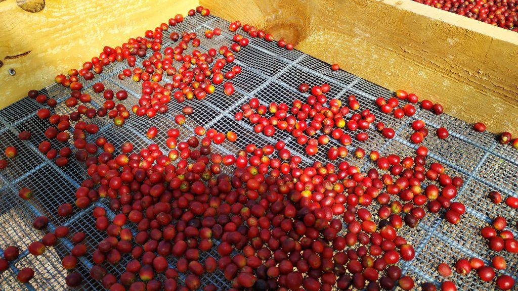 Kaffeproduksjon Valle de Agaete Gran Canaria