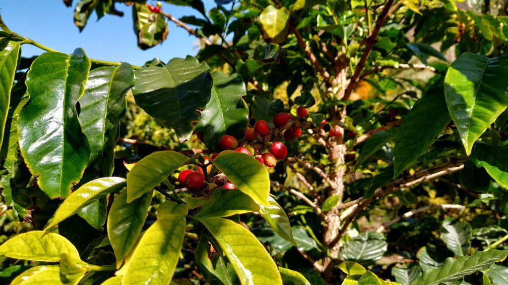 Kaffeplanter Valle de Agaete Gran Canaria