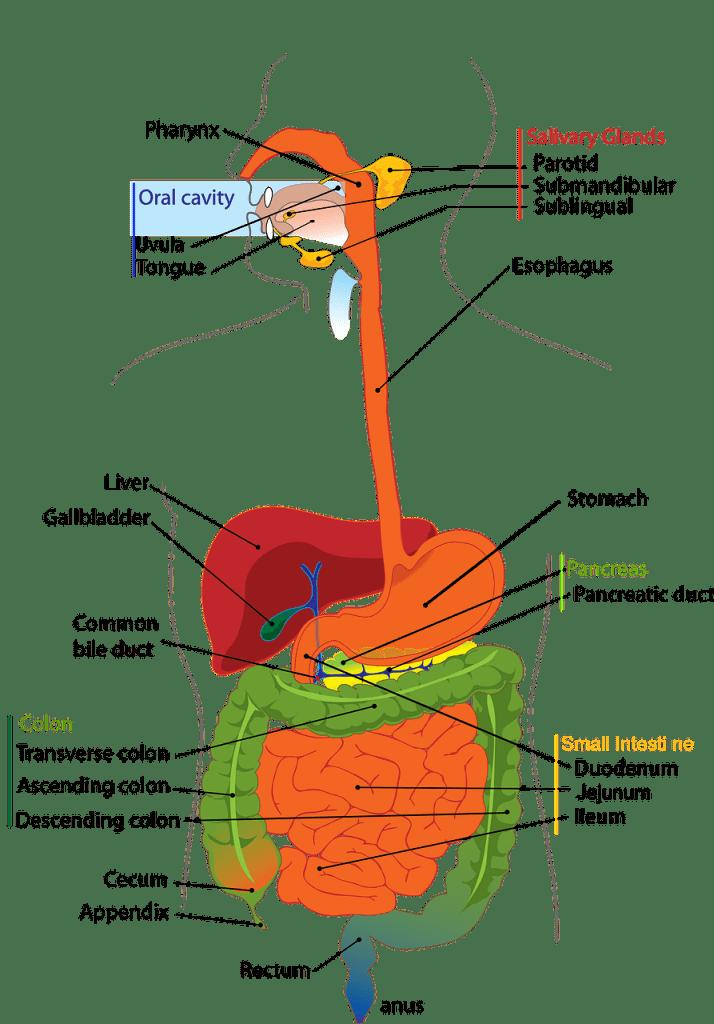 Sykehushistorier - Endoskopi -Kroppens indre med fordøyelsessystemet.